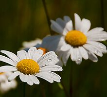 Daisies by Mindful-Designs