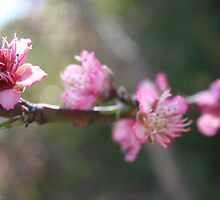 A Bough Of Blurred Peach Blossom by taiche
