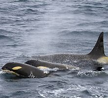Orcas in the Antarctic by Karen Stackpole