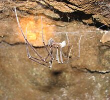Hickmania troglodytes, Tasmanian cave spider, Washington Hay mine, Tarkine, western Tasmania by Nic Haygarth