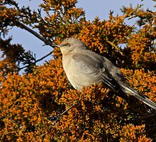 Mockingbird 3 by NatureGreeting Cards ©ccwri