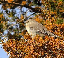 Mockingbird 2 by NatureGreeting Cards ©ccwri