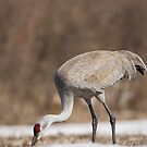 Sandhill Crane Foraging In The Snow by Thomas Young