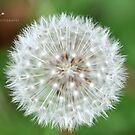 """"""" Symmetry """" (Dandelion Globe) by Richard Couchman"""