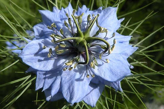 Love-in-a-mist by Trish Meyer