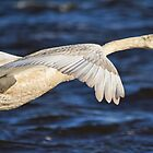 Mute Swan in flight by Margaret S Sweeny
