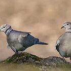 Collared Doves by M.S. Photography/Art