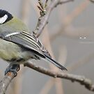 """"""" Young Feathers """" (Parus Major) by Richard Couchman"""