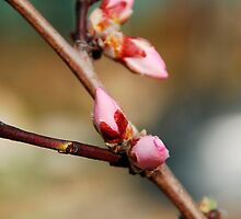 Almond Blossom Buds by jojobob