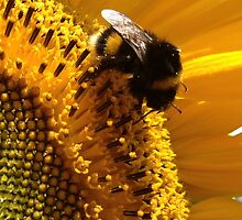 bumblebee sunbathing in a sunflower by Janneke Broeksteeg