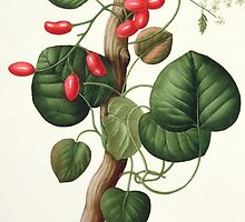 Menispermum from 'Phytographie Medicale' by Bridgeman Art Library