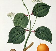 Strychnos nux vomica from 'Phytographie Medicale' by Bridgeman Art Library