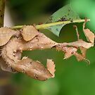 Spiny Leaf Insect by Chris  Randall