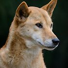 Australian Dingo by Chris  Randall