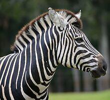 African Plains Zebra by Chris  Randall