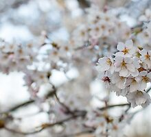 Sakura, Cherry Blossom, High Park, Toronto by jezza323