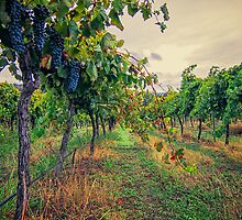 Vineyard Colours by yolanda