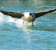 Water Skiing Goose by Ralph Goldsmith