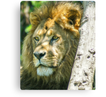 328 king of jungle Canvas Print