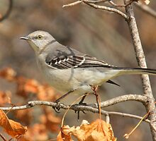 Mockingbird by NatureGreeting Cards ©ccwri