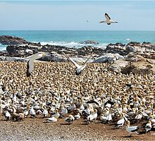 IN THEIR THOUSANDS - Cape Gannet {Morus capensis} by Magaret Meintjes