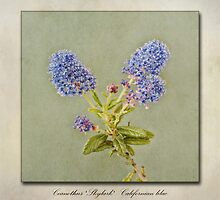 Californian Lilac - Ceanothus Skylark by John Edwards