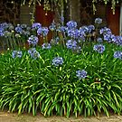Circle of Agapanthus by phil decocco