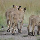 Lionesses hunting by Frits Klijn (klijnfoto.nl)