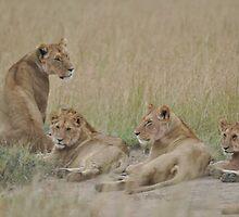 Lion pride by Frits Klijn (klijnfoto.nl)