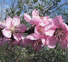 Peach Blossom at Our house in Barda, Romania 2014 by Dennis Melling