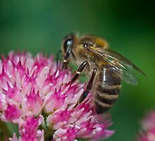 Close Up Bee by Kitty Bitty