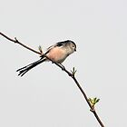 Long Tailed Tit (Aegithalos caudatus) by Chris Monks