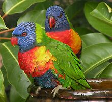 Lorikeets Bathing by Trish Meyer