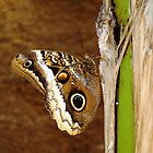 Owl Butterfly (Caligo memnon) by Maree  Clarkson