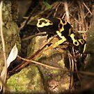 Yellow-banded Dart Frog by Kimberly Chadwick