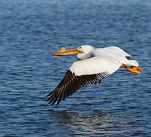 Pelican Taking Off by Thomas Young