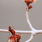 Maple Buds by Karen Jayne Yousse