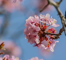 Cherry Blossom by Chris Martin