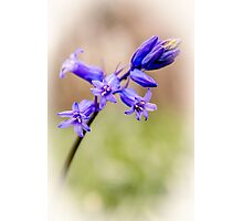 Bluebell art Photographic Print
