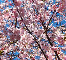 Lovely Cherry Blossoms  by hannahsview