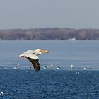 Pelican Flying Into Open Water by Thomas Young
