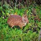 Florida marsh rabbit in the wild by alan barbour