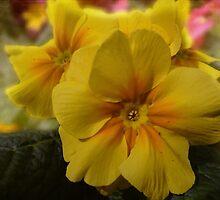 yellow primrose by vigor