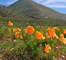 Poppies in the Foothills by John Butler