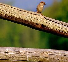 Little Bird on a Log Fence by Cheatahgirl54