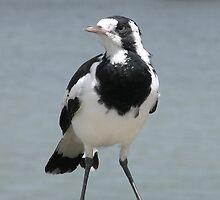Magpie-lark  by Trish Meyer