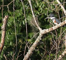 Belted Kingfisher by Carol Bailey White