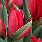 Tulip Fever by Karen E Camilleri
