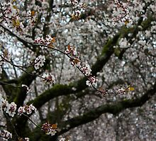 White Cherry Blossoms and Russet Buds by Rod Raglin