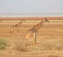 Giraffes at Lake Manyara by James Toal